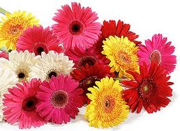 gerber daisies come in a variety of different colors.