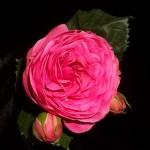 Piano - Pink
