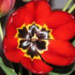 tulip open