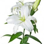 Always elegant, white lilies convey chastity, purity and virtue.