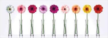 Gerber Daisy in Vases