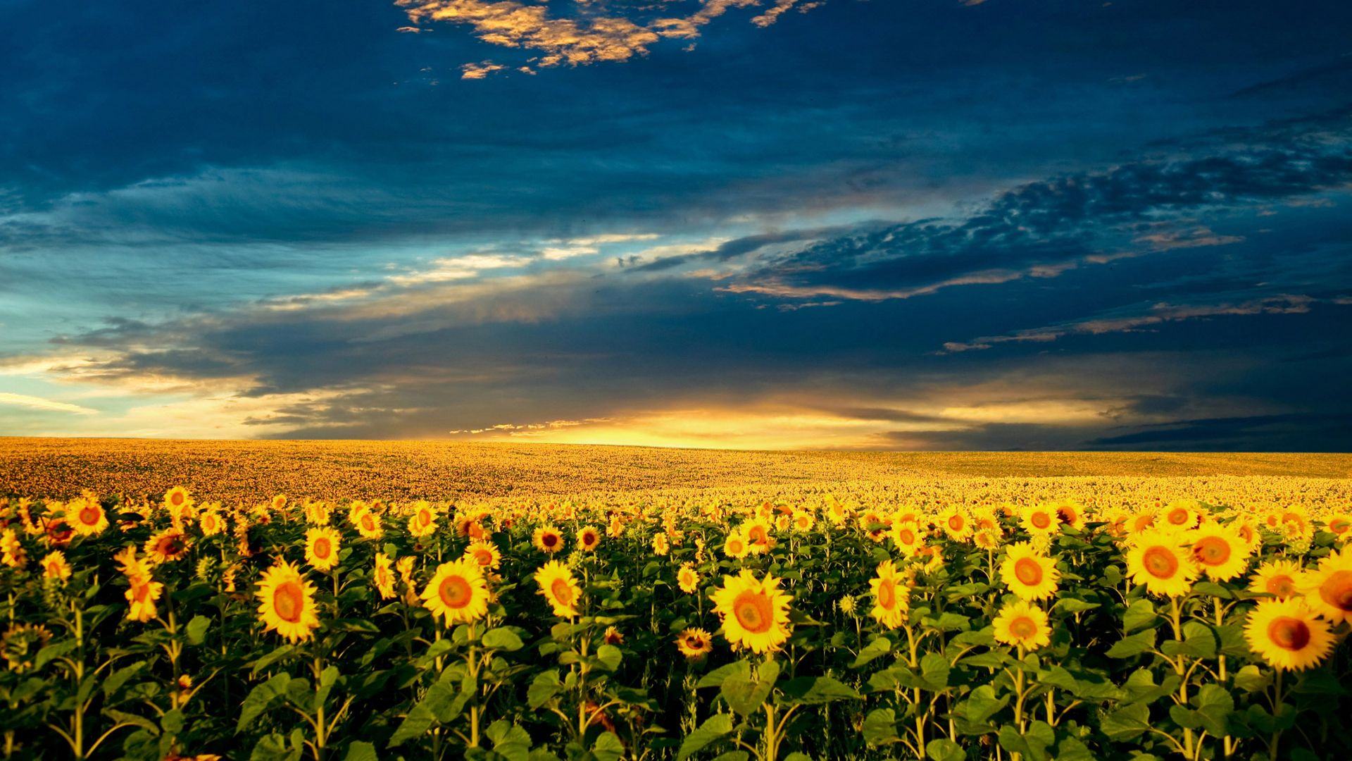 The former Soviet Union grows the most sunflowers.