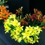 Asiatic lilies come in wonderful fall colors.