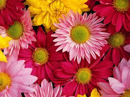 Daisies come in a variety of colors.